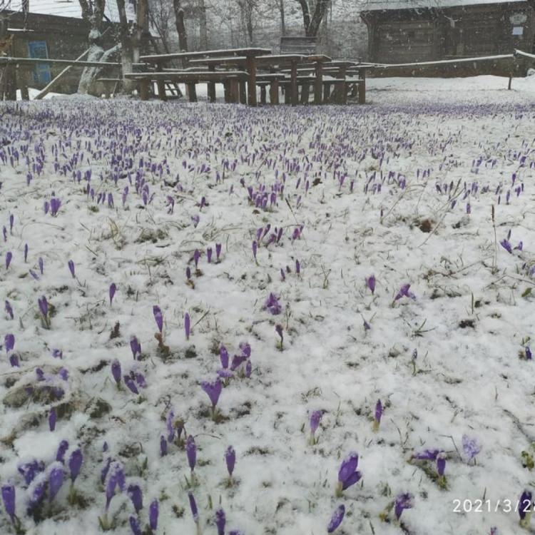 На Закарпатті шар снігу вкрив фіолетові шафрани (ФОТО)